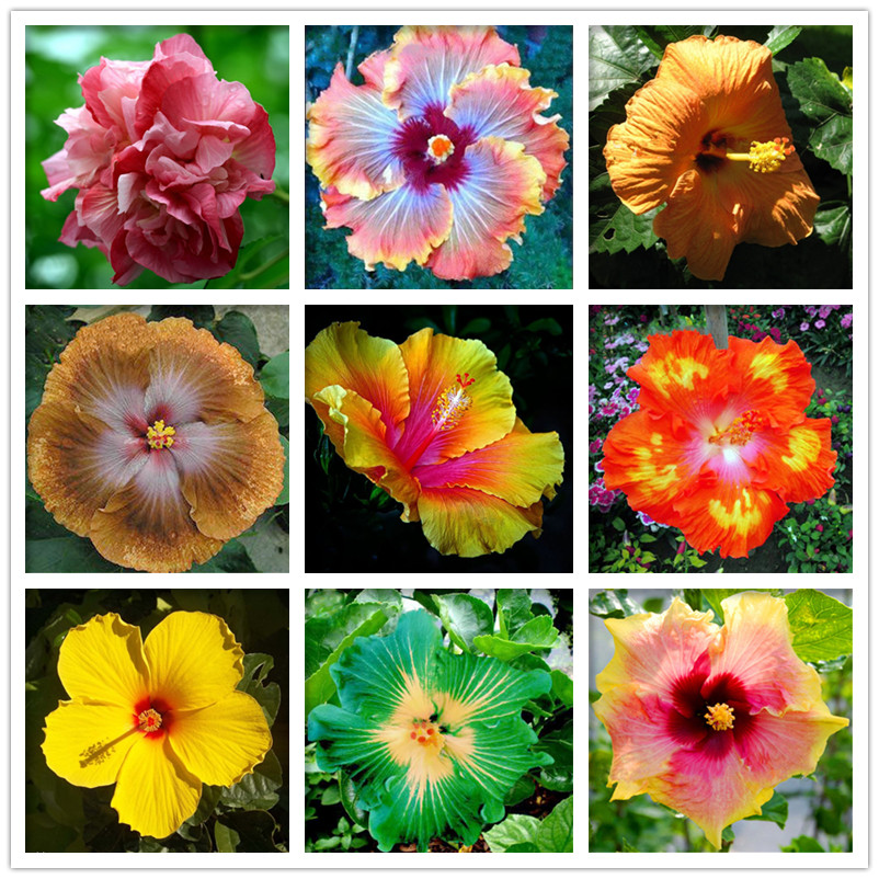 Lowest Price! 100 Pcs Hibiscus Rosa-sinensis Perennial Flower Plant Bonsai Big Blooms Red Green Blue Purple Chinese Rose Plant