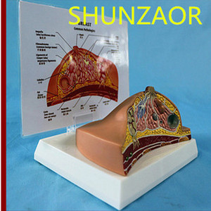 Image 2 - 1:1 Median Section of Human Female Breast Pathology Anatomy Model Kit  Table type breast lesion model lactating breasts