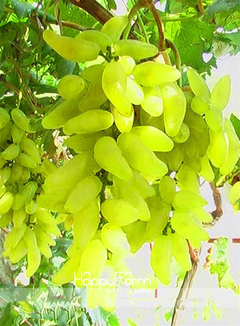 new-arrival-100-true-golden-finger-green-sweet-grape-organic-bonsai-50-pcs-lot-hardy-plant-delicious-fruit