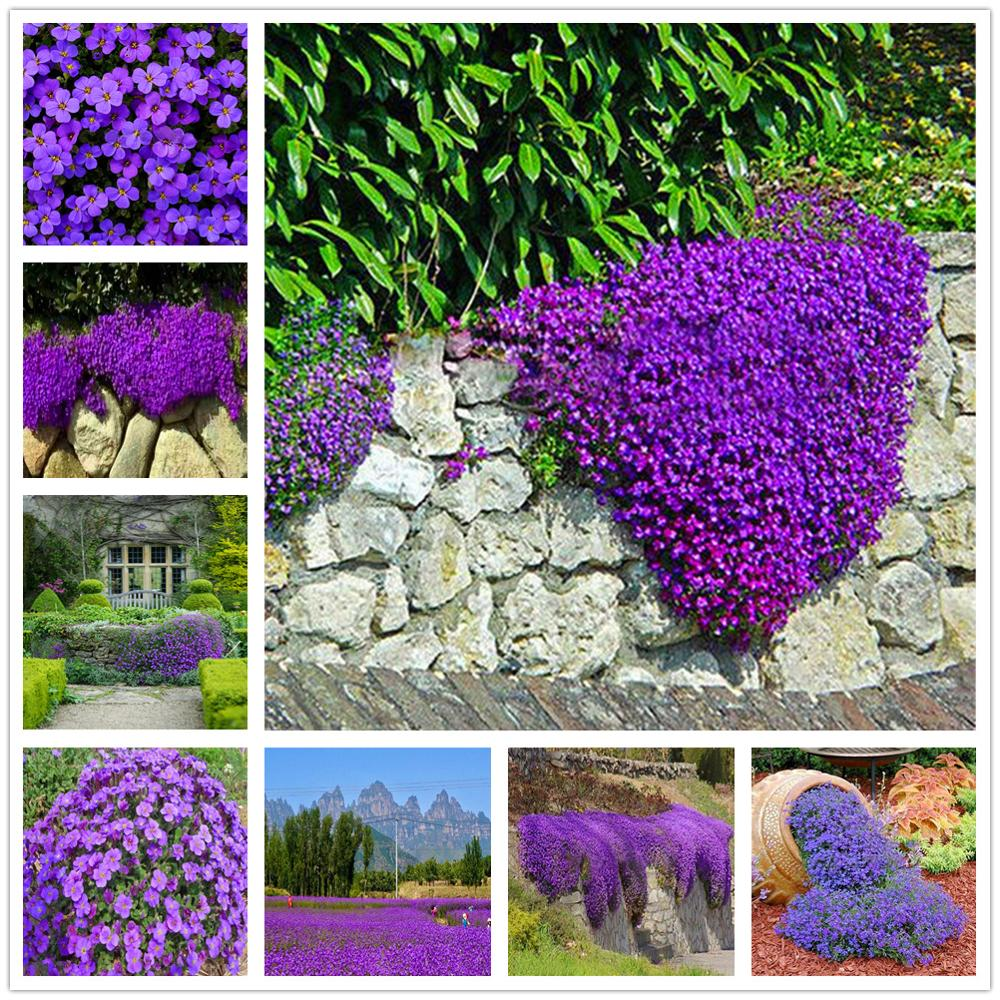 Plant Flower Bath Salts Purple Aubrieta Deltoidea Essence 200Pcs XZZ-216