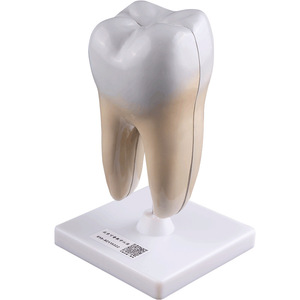 Image 5 - Giải Phẫu Người Răng Hàm Mở Rộng Mô Hình Khỏe Mạnh Lớn Cấu Trúc Răng Nha Khoa Oral Giảng Dạy Khuôn Trang Trí