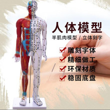 85CM Male Lettering acupuncture point body mannequins acupuncture, Medical Research massage reflex zone teaching model C518