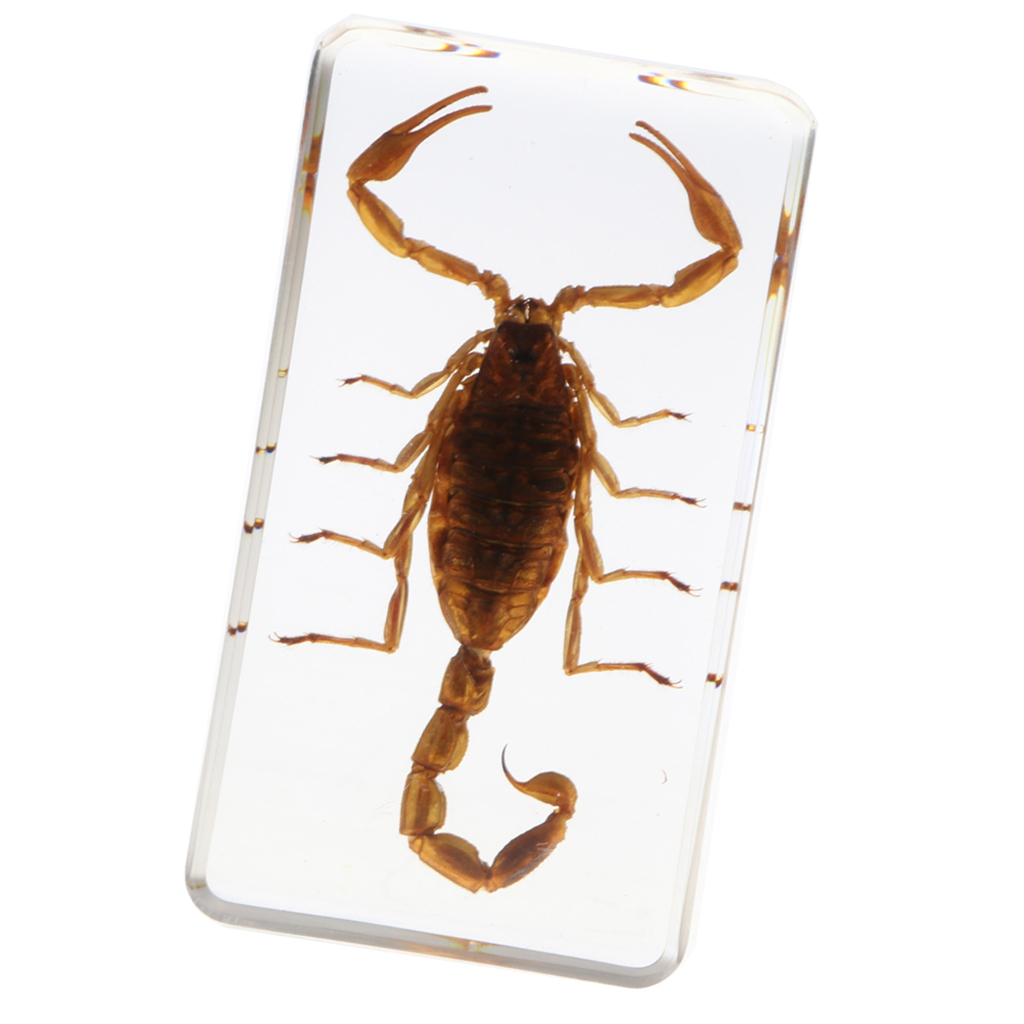 7.5x4x2cm Real Insect Specimen Yellow Scorpion in Clear Paperweight B