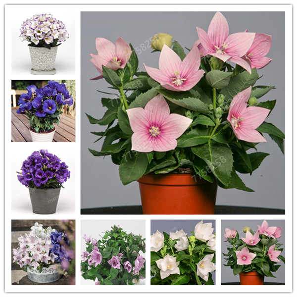 100 Pcs Rare Campanula Penzai Imported Chile Rosea Plant Outdoor & Indoor Chilean Bellflower Garden For Flower Pot Planter