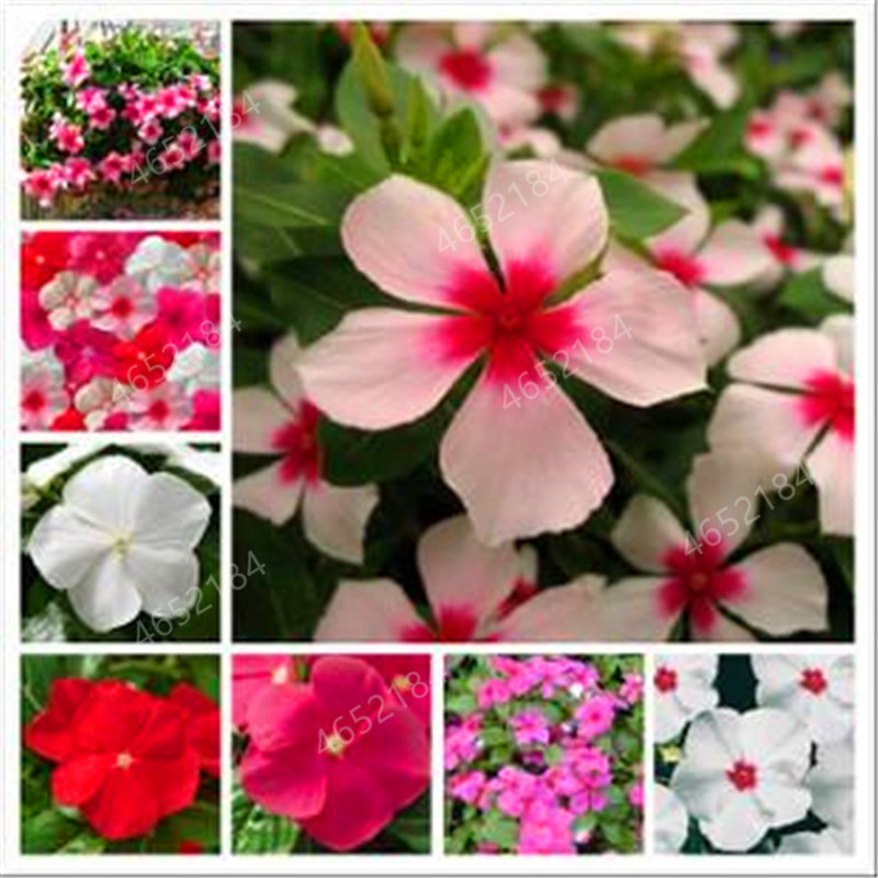 Imported 100 Pcs Mixed Periwinkle Bonsai Flower Vinca Cover House Jardin Blooming Flore Potted Mini Garden Plants Easy To Grow