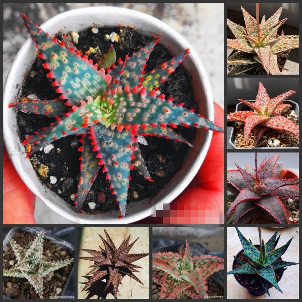 Free Shipping 50pcs  Super Aloe SS Lithops Echeveria Adenium Obesum - Desert Rose Flower SS