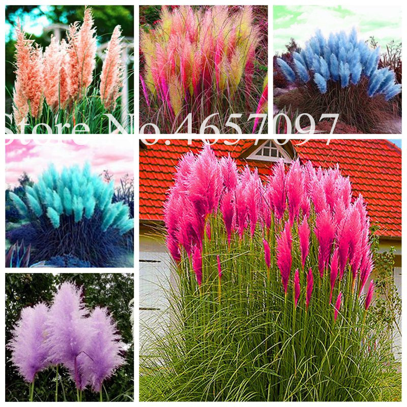 Pampas 500/pack Dried Grass 2020 New Arrival