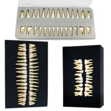 Tooth-Model Dental Simulated Teeth Permanent with Root Oral-Monochrome Adult Full-Mouth