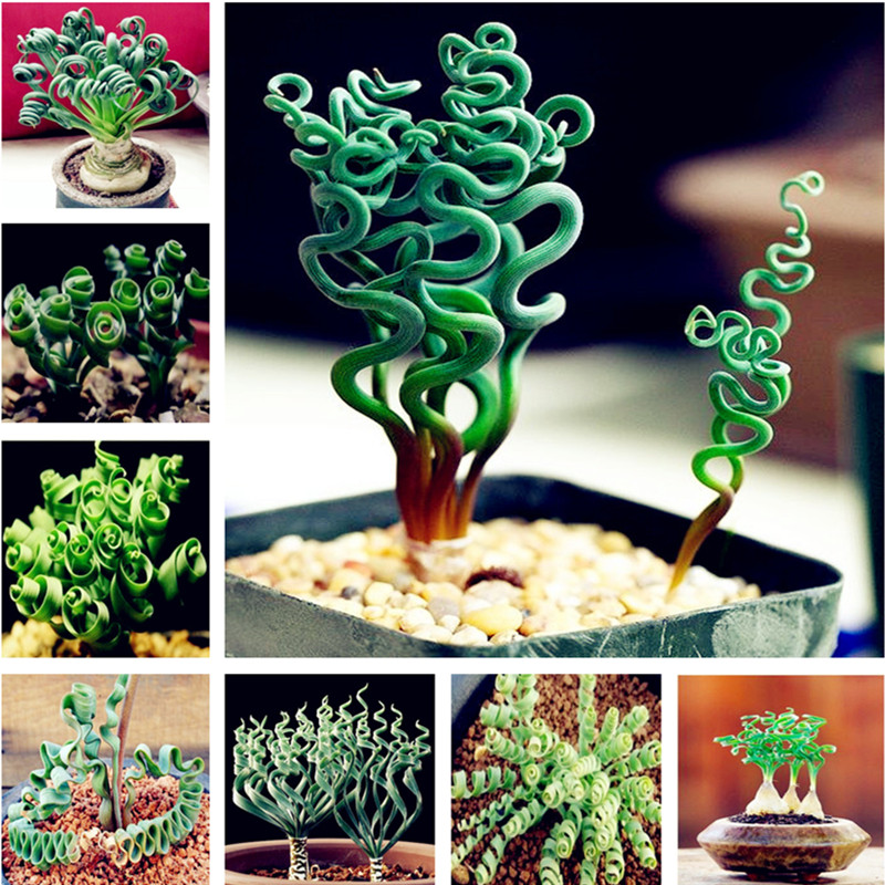 On Sale! 100 Pieces Spiral Grass Succulent Plant DIY Grass Bonsai Garden Pots Exotic Family Plants Ornamental Spring Grass