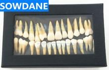 Dental 28 pcs 1:1 demonstration permanent teeth teach study model tooth model dental demonstration teeth removable model implant analysis teaching study implant dental teach dental crown bridge