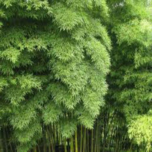 Moso Bamboo  Phyllostachys Pubescens Giant Bamboo Garden Decoration  20pcs