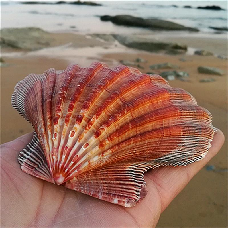 Natural conch large scallop shell fish tank aquarium decorative Home Decoration shell big white seashells