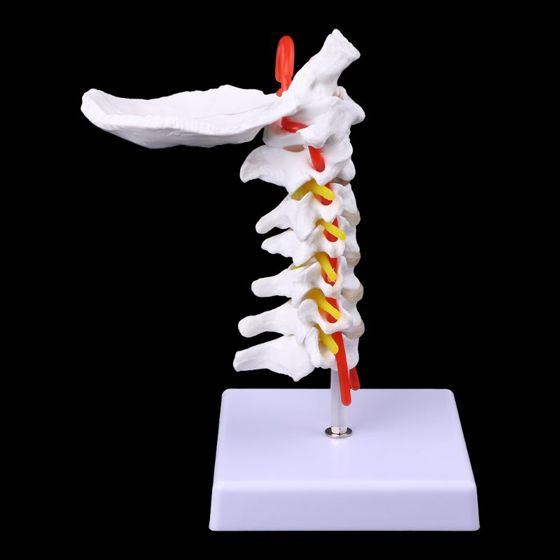 Cervical Vertebra Arteria Spine Spinal Nerves Anatomical Model Life Size