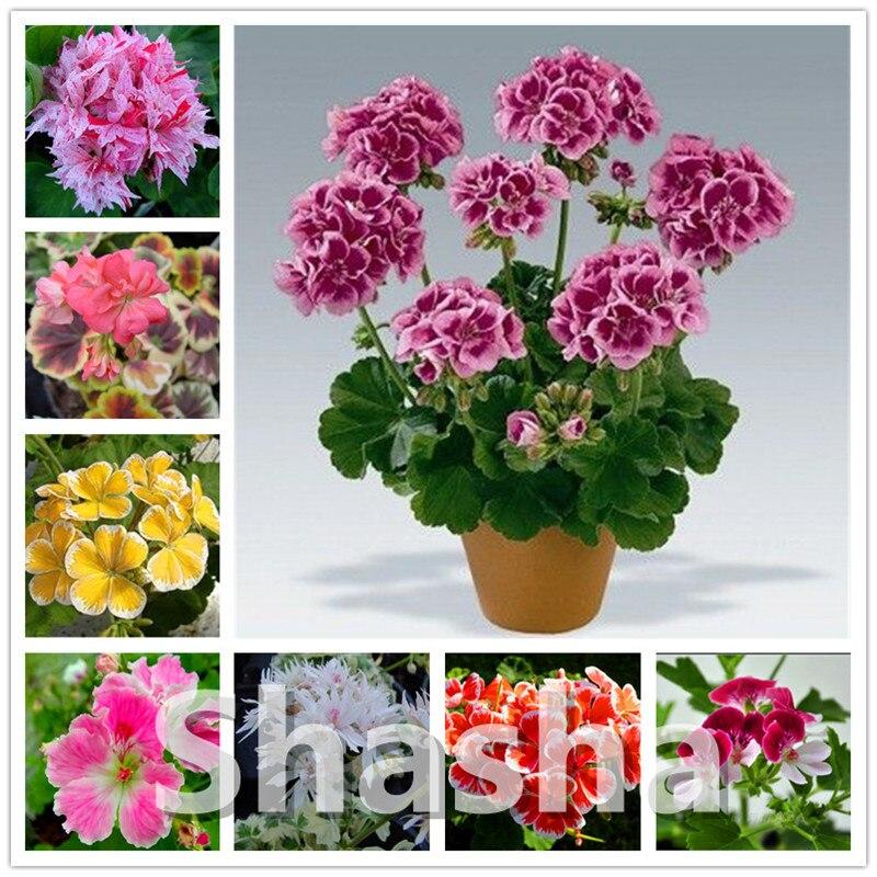 200 Pcs Geranium Plantas Perennial Bonsai Flower Plant Pelargonium Peltatum Flores Geranium Indoor Plant For Home & Garden
