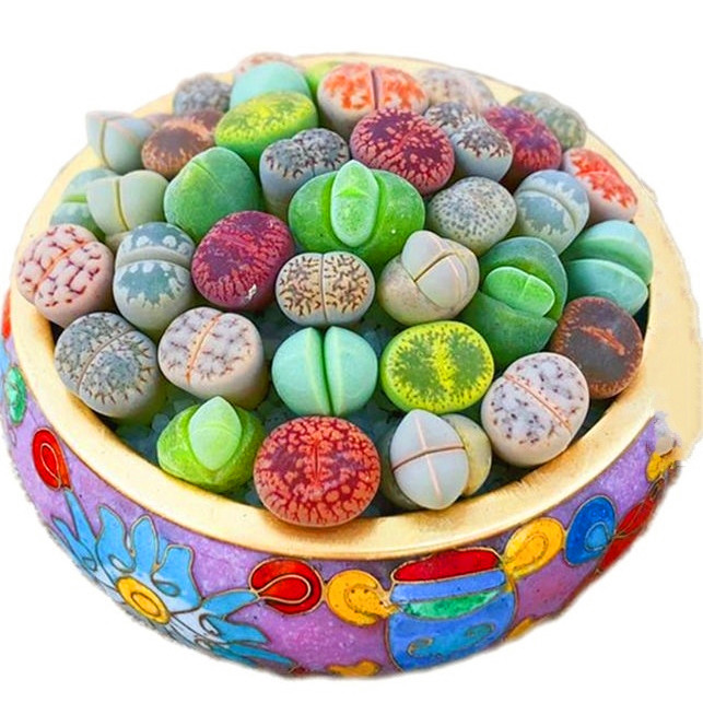 100Pcs 100% True South Africa Mixed Lithops Seeds Succulents Plants Ass Flower Potted Home Garden Balcony Miniature Decoration