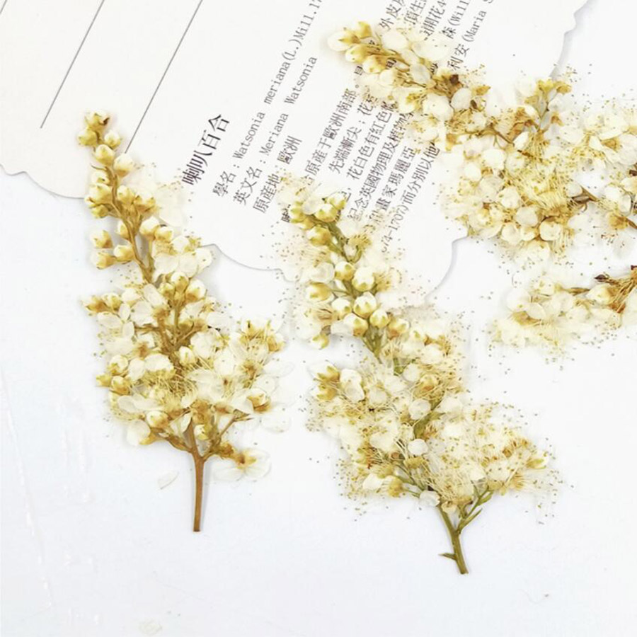 60pcs Pressed Dried Spiraea Thunbergii Sieb. Flower Plant Herbarium For Jewelry Postcard Invitation Card Phone Case DIY
