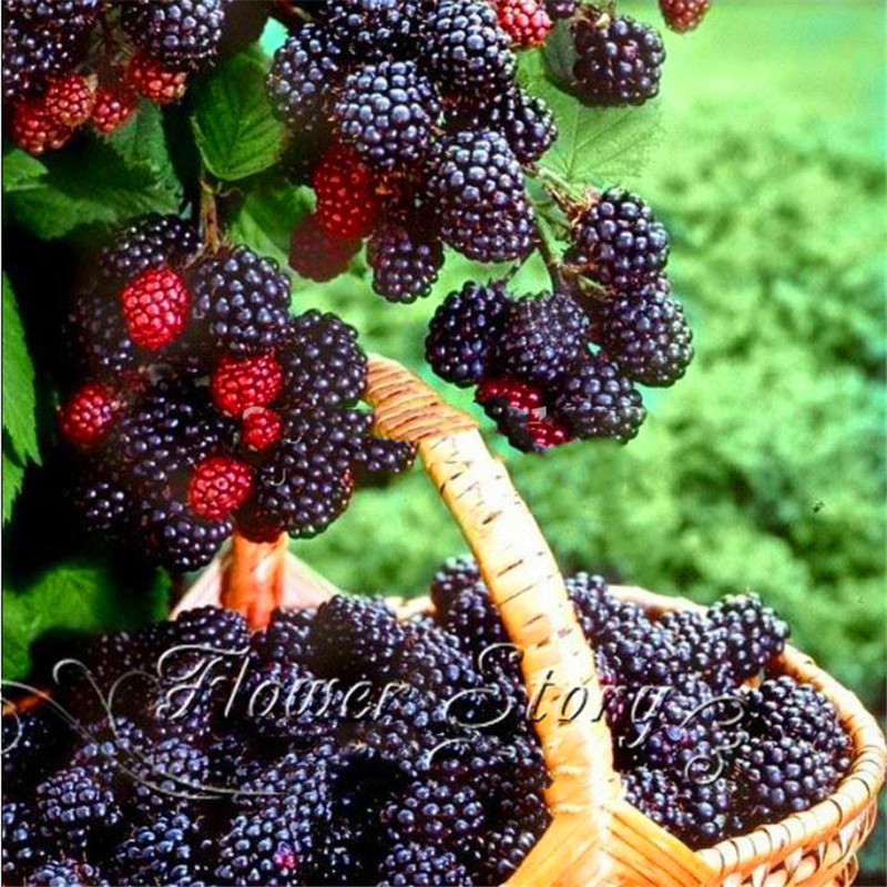 Plant Flower Bath Salts Thornless Blackberry Essence 100Pcs XZZ-243