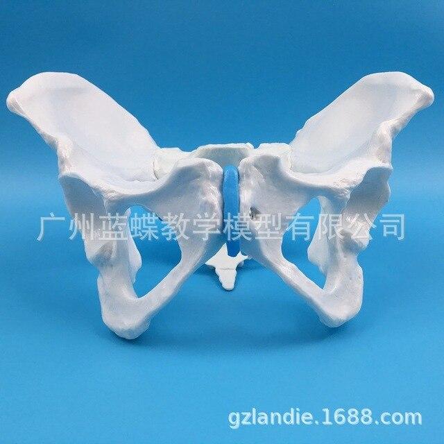 1:1 الحياة الحجم الإناث الحوض الحوض فحص نموذج الإنسان الهيكل العظمي عينات من قالب هيكل عظمي قياس الحوض