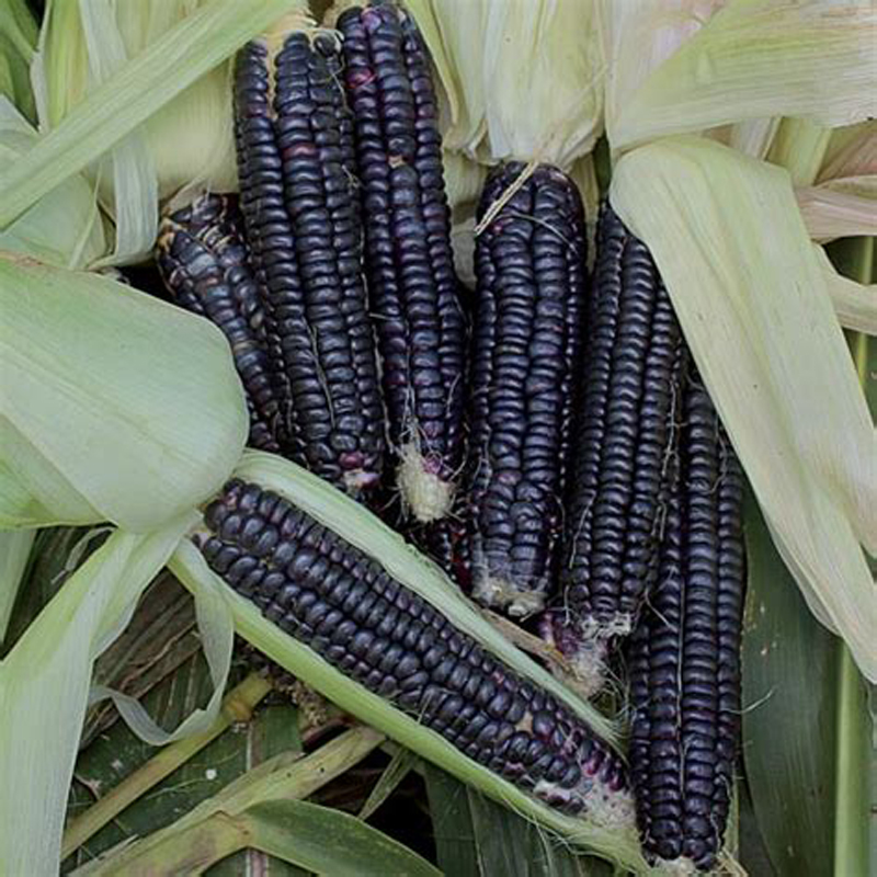 20pcs Purple Sweet Glutinous Black Corn Bonsai Plants Purple Black Waxy Corn  Red And Black Corn Sticky Corn Pot Plant
