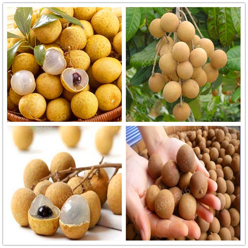 5 PCS Bonsai Longan Extra-Sweet Extra-Big Bonsai Fruit Tasty Dragon Eyes Rare Exotic Potted Plant For Garden Flower Pot Plants