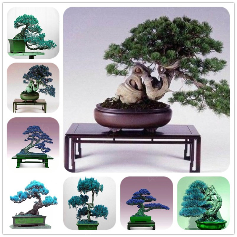 20 Pcs Mixed Black Pine Natural Indoor Bonsai Tree Wooden Perennial Plants For Home Garden Decor Best Packaging Free Shipping