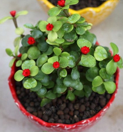 100 Pcs Portulaca Grandiflora Bonsai Mixed Color Moss-Rose Purslane Double Flower Plant For Planting Heat Tolerant Easy Growing