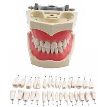 Adc modelo credenciado dentes dentários modelo de ensino dental modelo de demonstração dente com removível 32 pces dentes