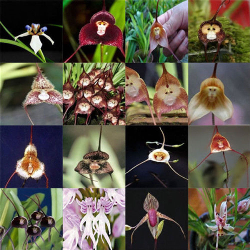 100PCS Dracula Simia Monkey Face Orchid Flower S