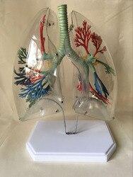Легких анатомическая модель прозрачный легких сегментная модель медицинского учебных пособий грудной хирургии легких науки и образовател...
