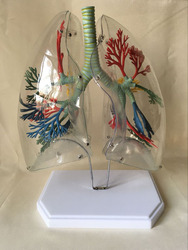 Lung anatomical model transparent lung segment model medical teaching aids thoracic surgery lung science and education model