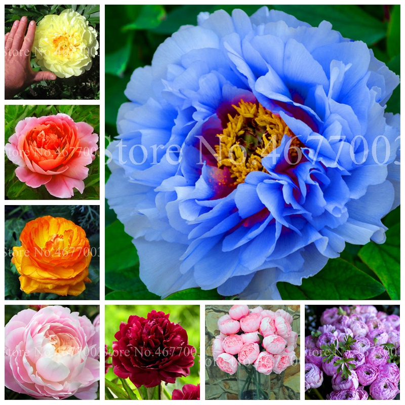 10 Pcs/ Bag Rare Double Peony Bonsai Multicolor Perennial Outdoor Flowers Chinese Paeonia Suffruticosa Diy Home Garden Pot Plant