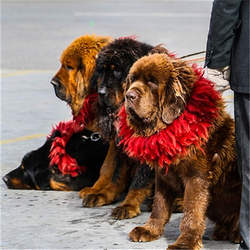 Tibetan Handicraft Mastiff Kekhor for Adult Dog Red Real Yak Hairs Zang`ao 4 Layers Warm Collar for Puppy Free Shipping L035