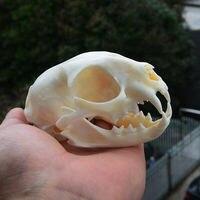 https://ae01.alicdn.com/kf/H1a43a13f45114ce39b2cc2fb3cf4d97bx/1pcs-pussy-Cat-Skull-Taxidermy.jpg