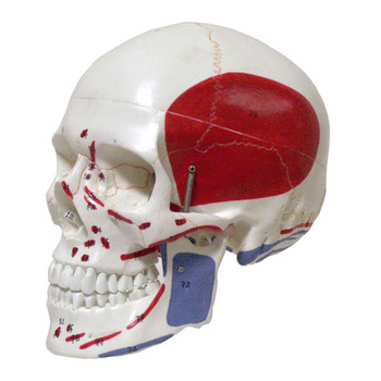 Life Size Colored Head Model, The Natural Human,skull, Adult Head, The Anatomy of The Medical Supplies