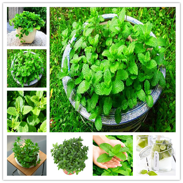 100 Pcs/bag Mint Potted Herb Edible Plants Penzai Or Pot Organic Plantas Vegetables For Home And Garden Decoration