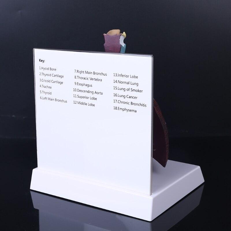 anatômico do sistema respiratório para as informações
