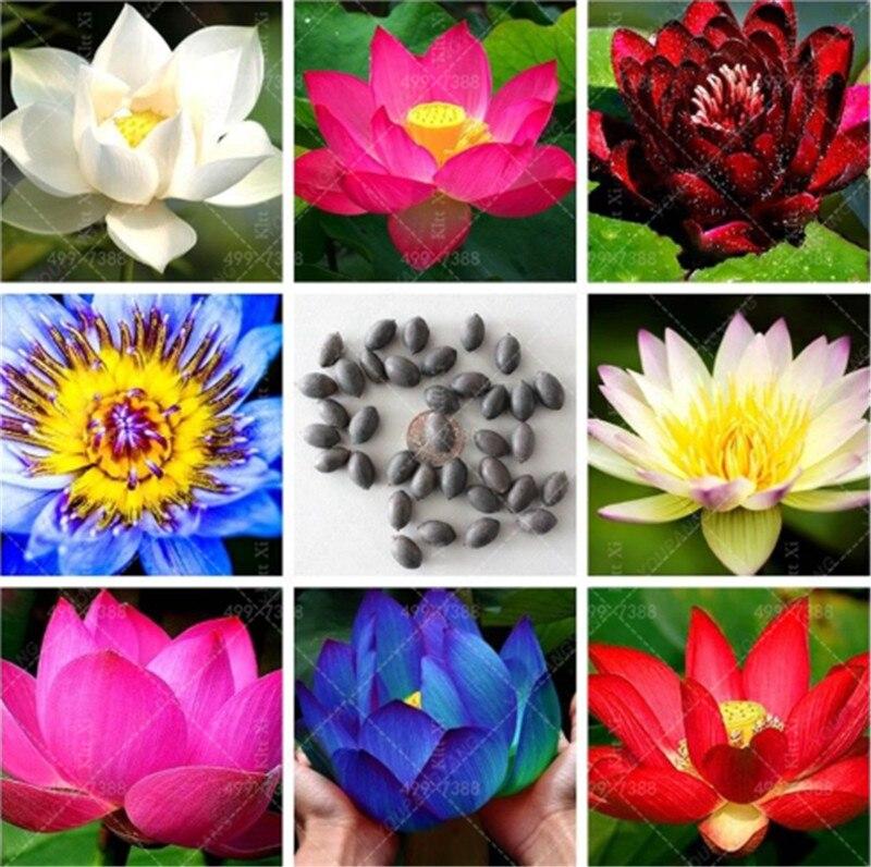 New Arrival!Bonsai Flower Victoria Amazonica Giant Water Lily Lotus Plants! Garden Decoration Plant 5 Pcs Bonsai Plant For Home