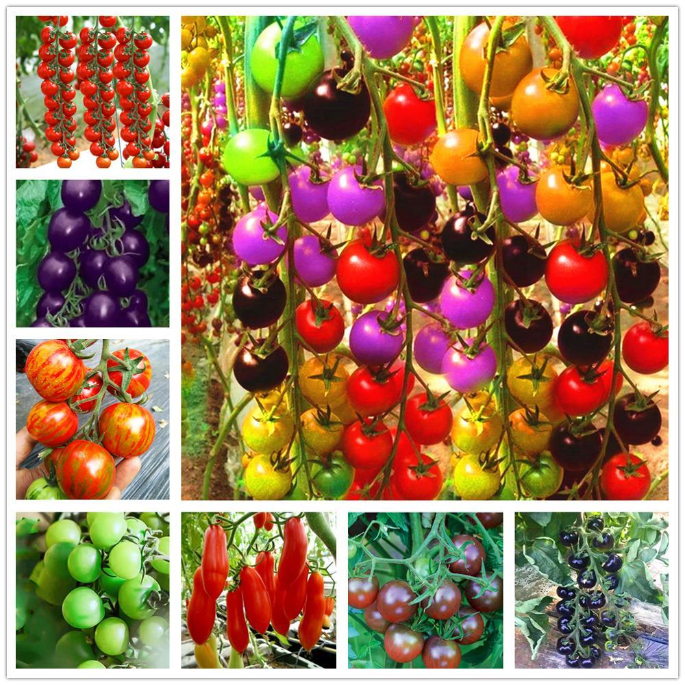 Plant Rainbow Flower Bath Salts Cute Tomato Essence 100Pcs XZZ-91