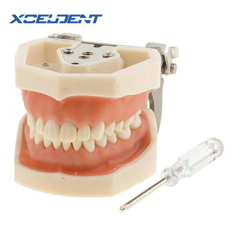 1pcs Goma Macia Tudo Removível 28pcs Dentes Dental Modelo Teeth Dental Modelo para o Novo Dentista Traning No escola
