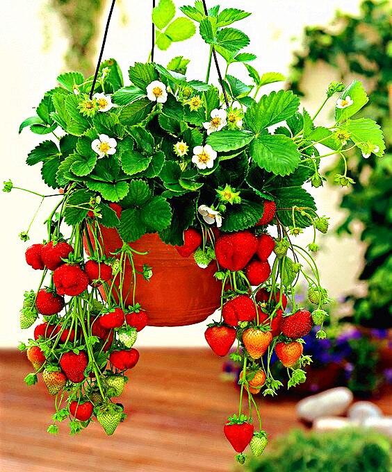 1000 Pcs Strawberry Bonsai