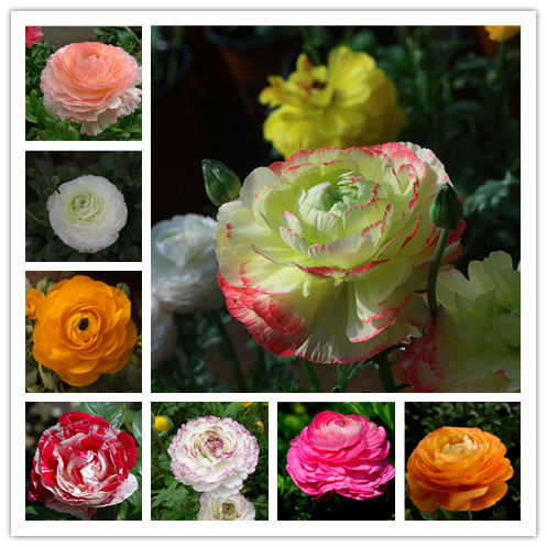 Boss Recommend!100 PCS Ranunculus Asiaticus Flower Bonsai For Home & Garden DIY Plants Persian Buttercup Plantas Flower Bulbs F
