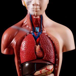 Image 4 - نموذج جسم الجذع البشري تشريح الأعضاء الداخلية الطبية التشريحية لتدريس 19QA