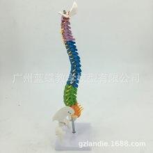 Modèle de colonne vertébrale de 45CM avec disque intervertébrale, modèle de colonne vertébrale humaine colorée avec têtes de Pelvis et de fécule