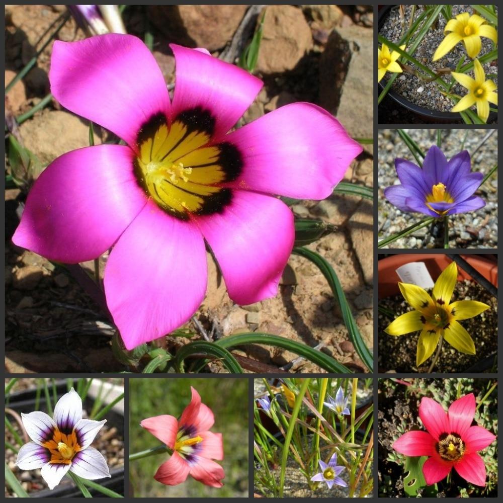 Free Shipping Hibiscus Lithops Echeveria  Palm Adenium Obesum - Desert Rose Flower SS