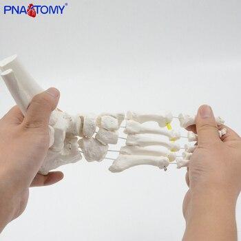 Flexible Foot Bone Model Human Skeleton Anatomy Medical Teaching Tool Educational Equipment Ankle joint model Life Size human hip bone model hip joint model life size bone ligaments medical teaching tool hospital used anatomical model pelvis bone