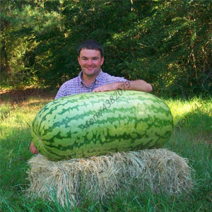 Giant Watermelon 30