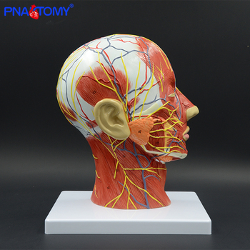 Human head with muscle and nerve blood vessel brain anatomy oral cavity throat anatomical model skull face muscle life size gary matthews g cellular physiology of nerve and muscle