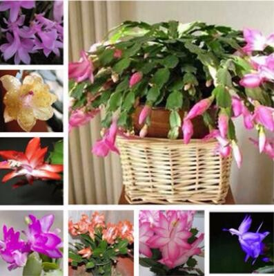 100pcs / Bag Schlumbergera Flowers Christmas Cactus Plants, Bonsai Plant For Home And Garden, Mixed Color, Easy To Plant