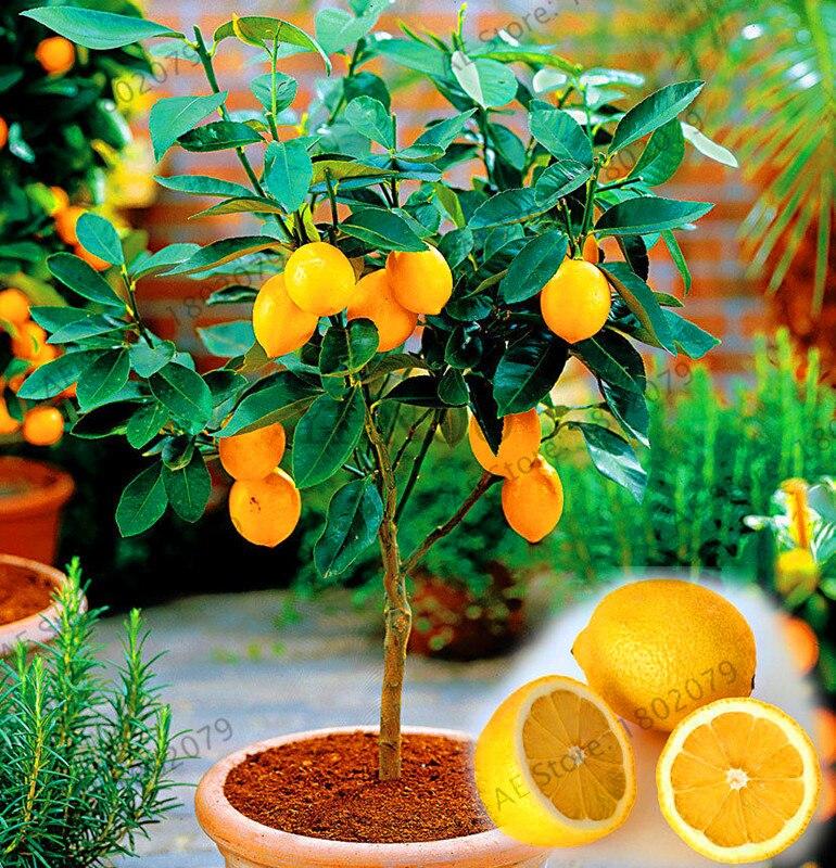 Lowest Price!20pcs Lemon Tree Plants Fruit Plantas Bonsai Plant DIY Home Garden BONSAI Floresling Edible Green Lemon Plante