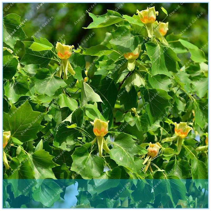 20pcs Tuliptree  Liriodendron Tulipifera  Beautiful Foilage  Chinese Tulip Tree Flower Bonsai Home Garden